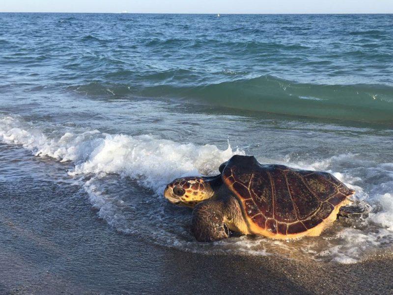 Una tortuga alliberada al mar.